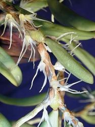 BULBOPHYLLUM SESSILE